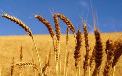 """Agricoltura. Risoluzione PD per sostenere la produzione cerealicola"""""""